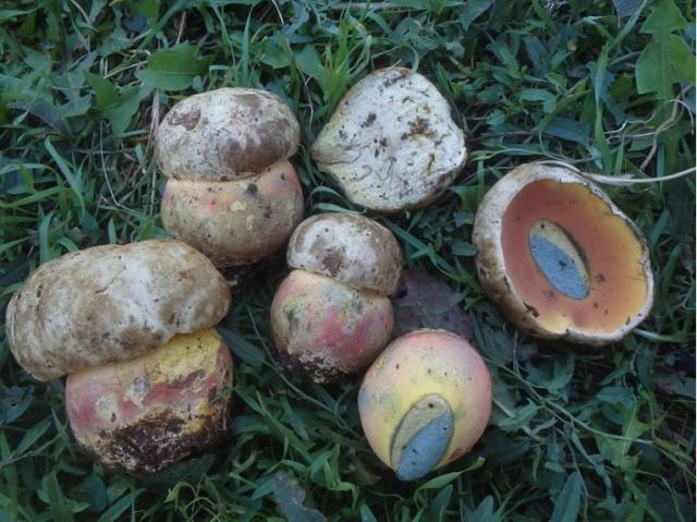 Морфологические особенности гриба