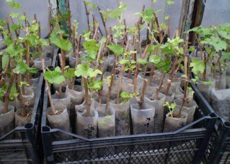 Как правильно садить черенки винограда