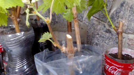 Как вырастить чубуки винограда в домашних условиях помощь фото