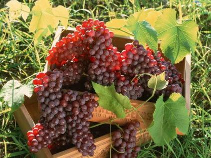 Как сажать виноград