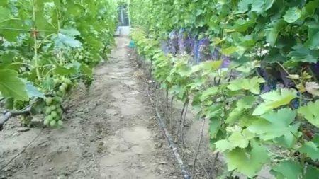 Какой грунт выбрать для винограда