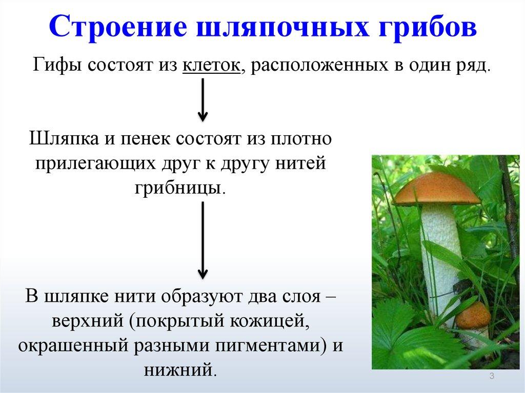 Строение шляпочных грибов