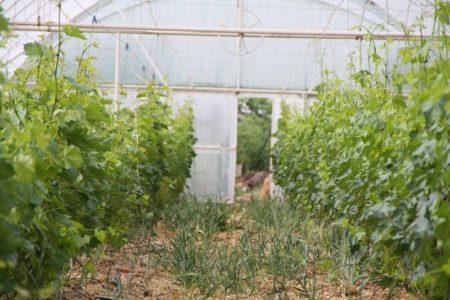 Посадка винограда в теплицу