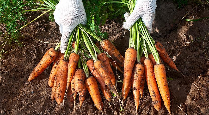 Семена моркови королева осени