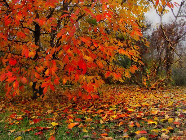 вишня осенью