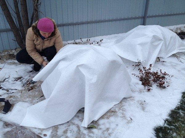 Как укрыть розы спанбондом на зиму