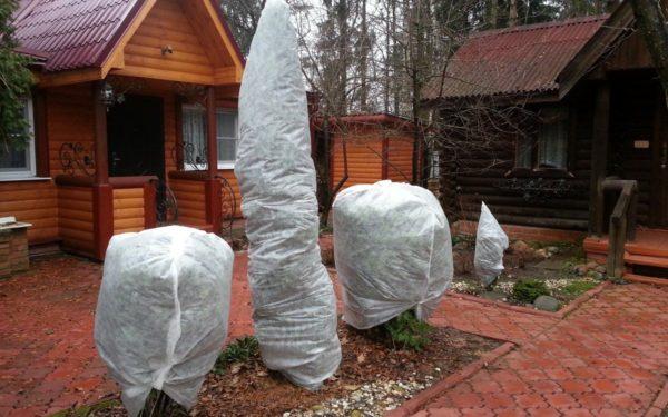 укрытие хвойных деревьев на зиму