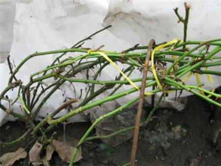 Как обрезать плетущиеся розы осенью