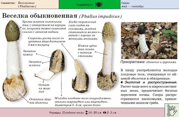 Общие сведения о грибе
