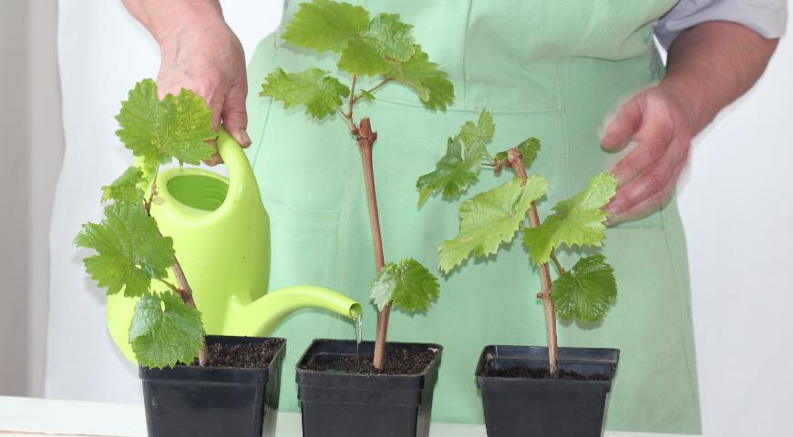 вырастить виноград из черенка