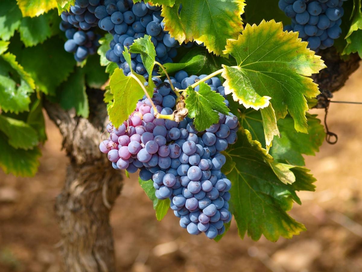 Когда можно пересаживать виноград
