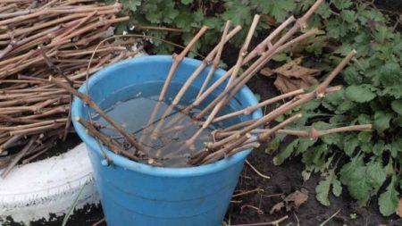 Размножение винограда черенками осенью – АГРАРИЙ