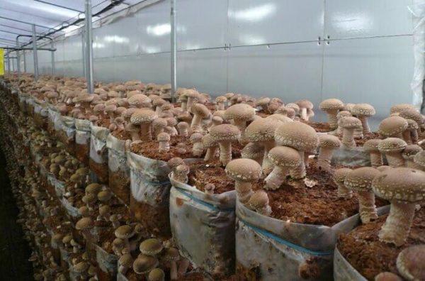 Выращивание грибов шиитаке
