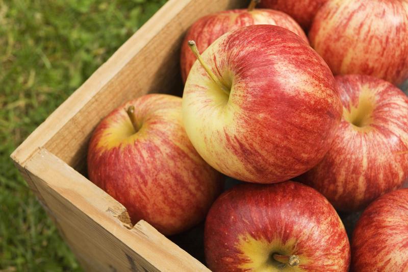 Сладкие зимние сорта яблок для средней полосы