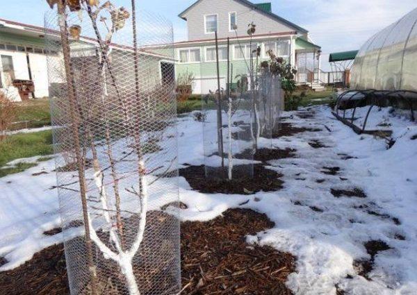 защита деревьев на зиму от зайцев