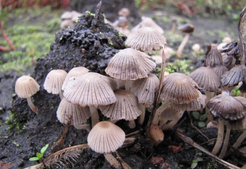 Виды условно-съедобного гриба навозник- обыкновенный, белый и серый, описание и использование в кулинарии