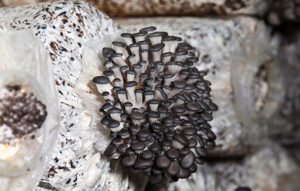 Выращивание грибов в мешках