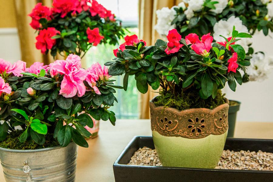 Осторожно - ядовитые комнатные растения!
