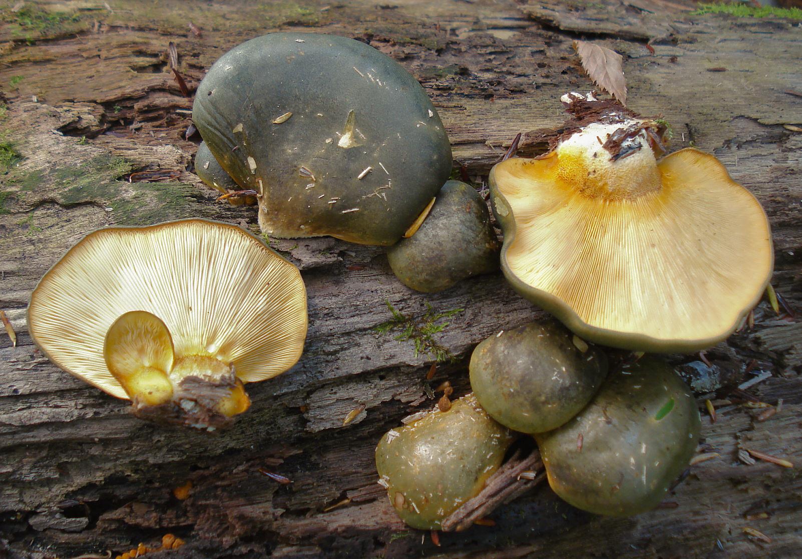 Грибы растущие на тополях съедобные фото
