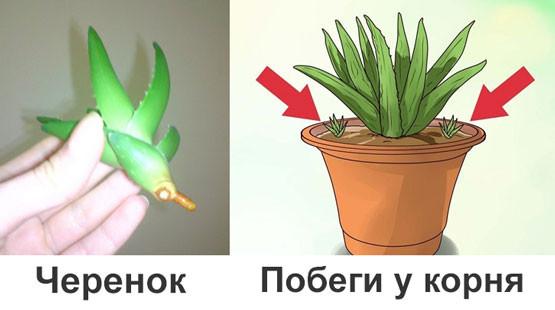Способы размножения алоэ