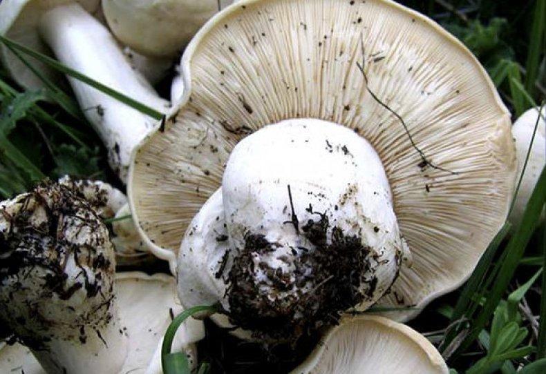Горный гриб