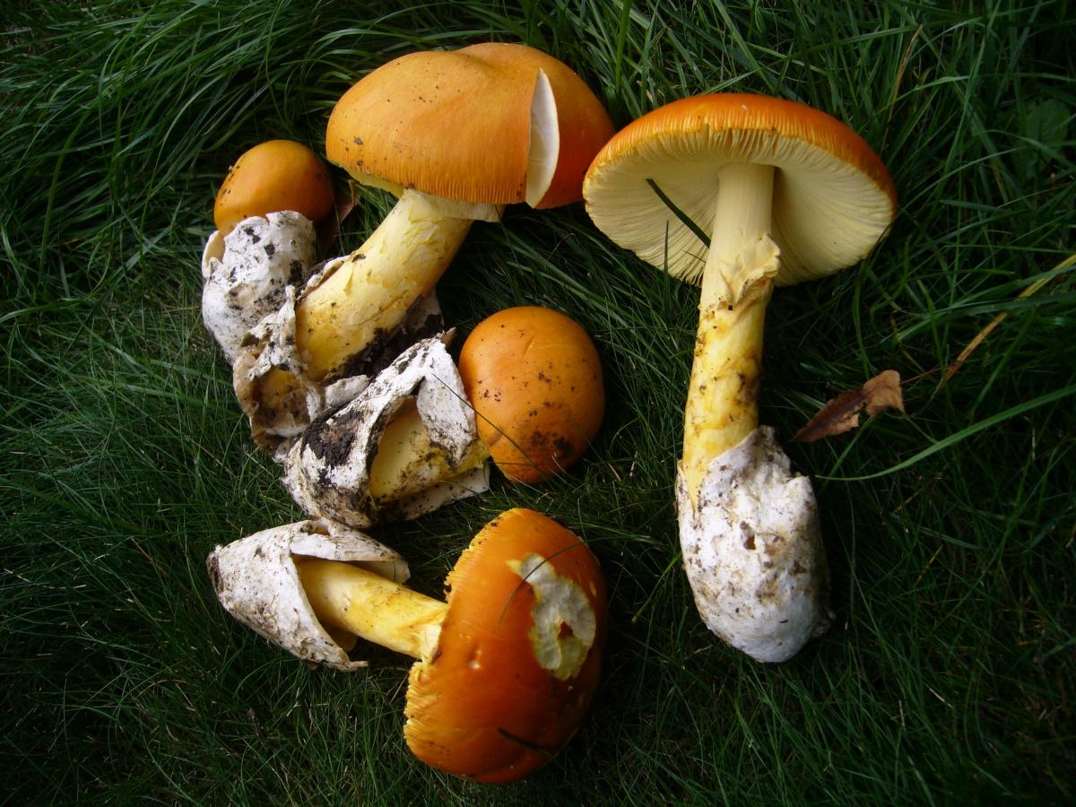 Кесарев гриб