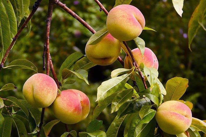 Уход за персиком осенью