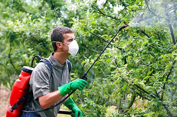 Парша на яблоне: лечение осенью и профилактика весной