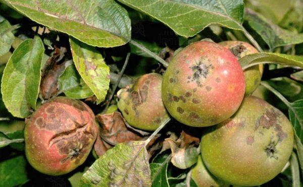 Парша на яблоне: чем лечить и как бороться с заболеванием, меры профилактики