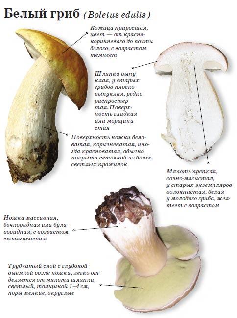 Описание гриба