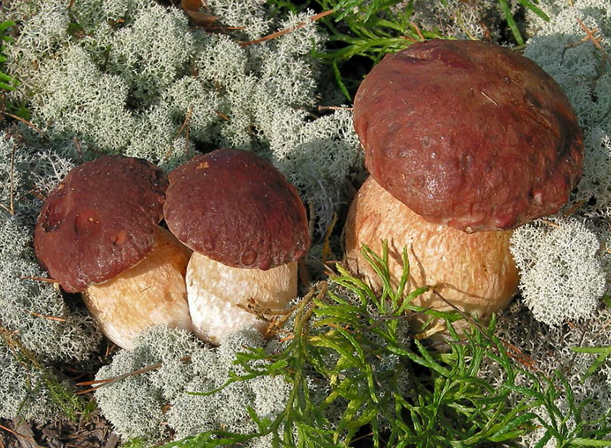 Сосновый белый гриб