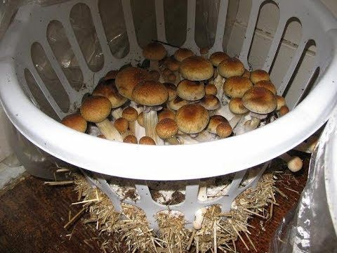 Особенности выращивания белых грибов