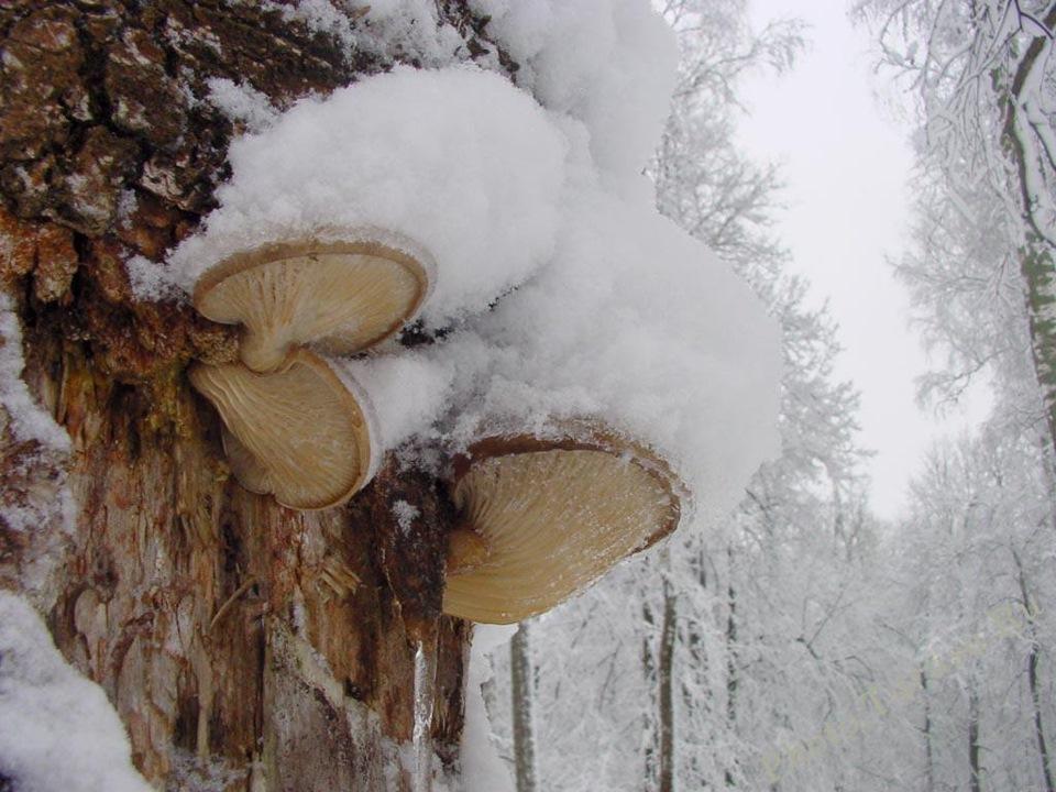 Зимняя вешенка
