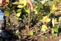 укрывать виноград на зиму