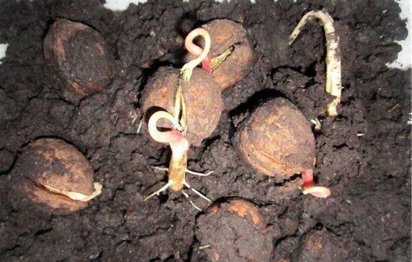 Пересадка ореха грецкого осенью