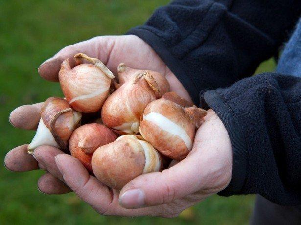 хранение луковиц тюльпана