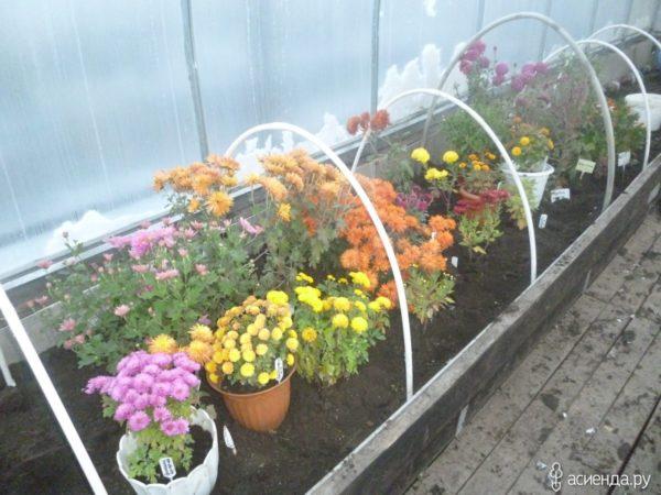 хранить хризантемы зимой