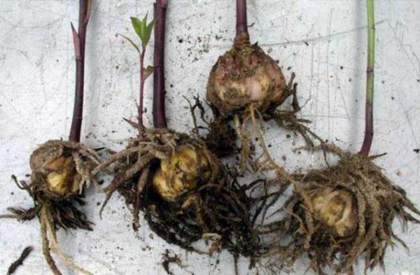 Хранение луковиц лилий зимой в домашних условиях до посадки весной