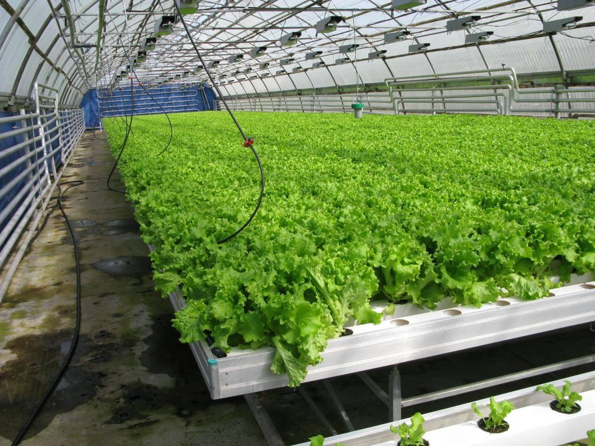 Как вырастить салат
