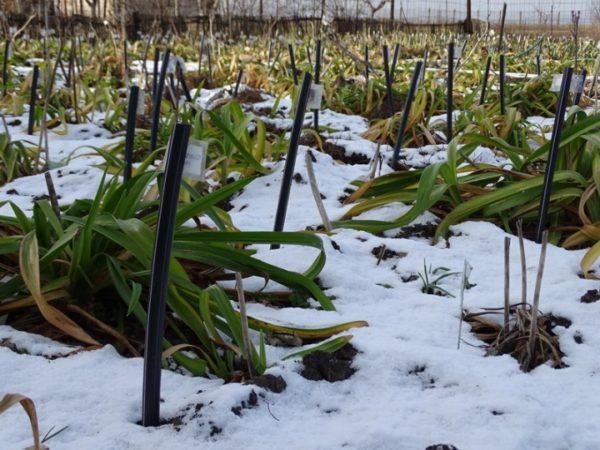 Лилейники посадка и уход в открытом грунте подготовка к зиме