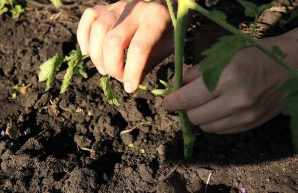 обрывать листья у томатов