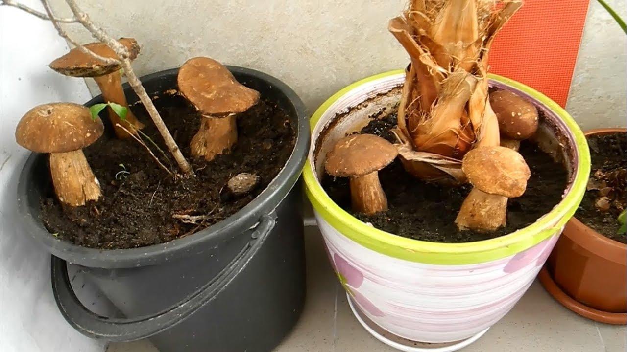 Выращивание грибов в квартире