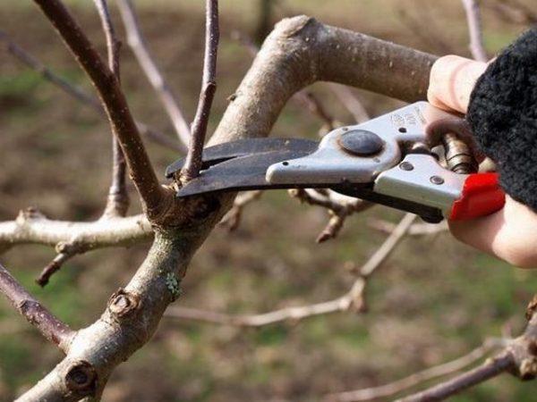 Как правильно сделать обрезку вишни осенью