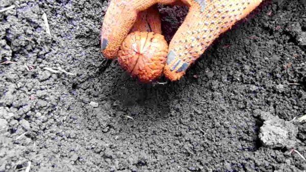Посадка грецкого ореха осенью – подробно для начинающих   Видео