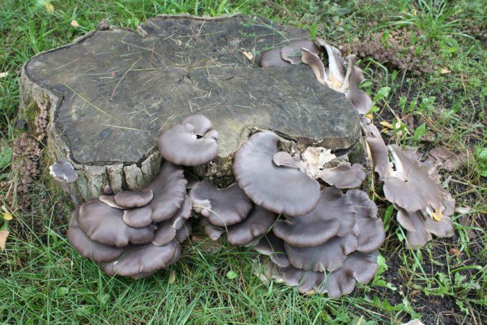 грибы растущие на поваленных деревьях