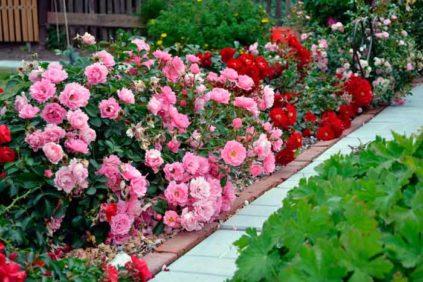 укрыть розы на зиму
