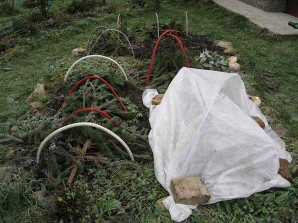 укрытие хризантем