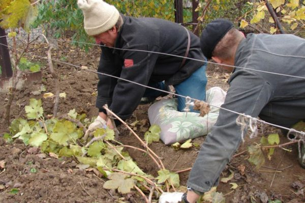 Какой мороз выдерживает виноград без укрытия