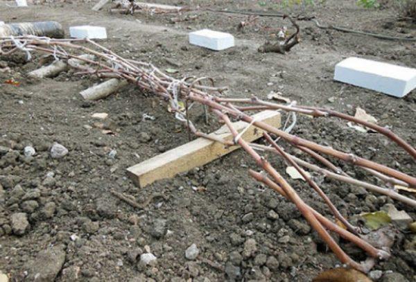 При какой температуре укрывать виноград, какую минимальную температуру выдерживает виноград