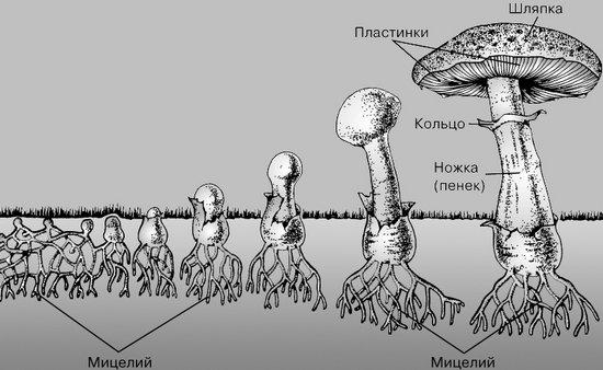 Рост гриба